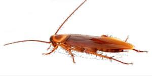 Cucaracha Americana│Gestinsa