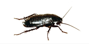 Cucaracha Negra │Gestinsa