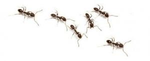 Desinsectación de Hormigas│Gestinsa