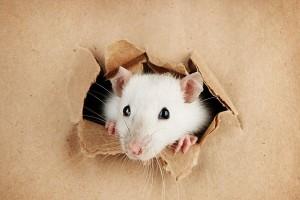Tengo ratas o rarones en casa