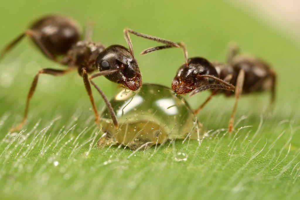 Especie de hormigas en España|Gestinsa