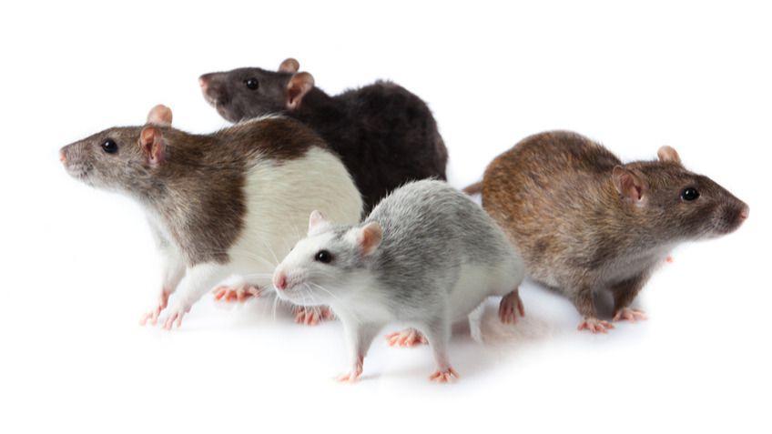 Plagas de roedores en otoño - invierno