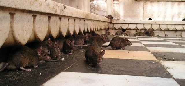 Riesgos de una plaga de ratas