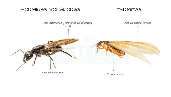 Conoce a diferenciar las termitas de las hormigas