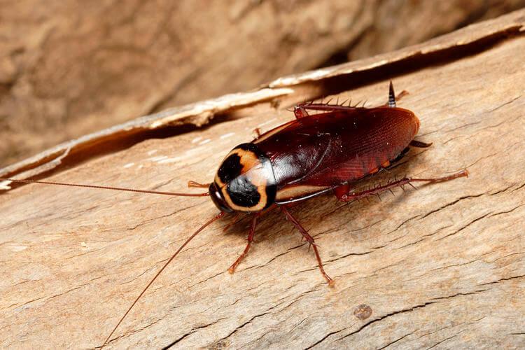 Plaga cucaracha negra australiana
