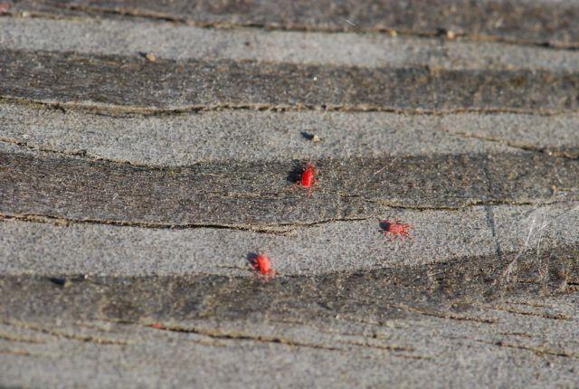 El ácaro rojo: molestias en comunidades vecinos