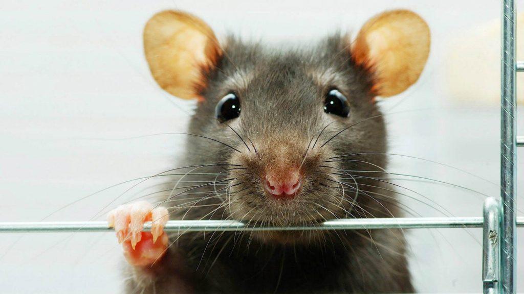 Plaga de ratones en mi casa