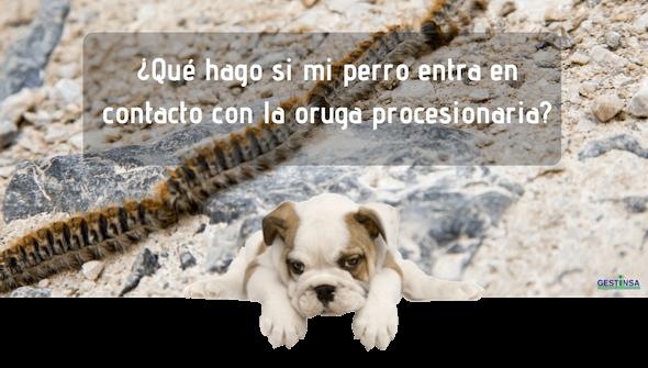 ¿Cómo actúo si mi perro entra en contacto con oruga?